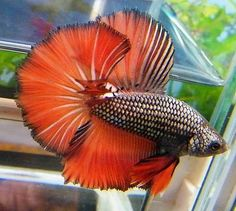 Red dragon little tropical fish.