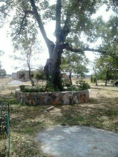 Árbol Centenario del Caserío