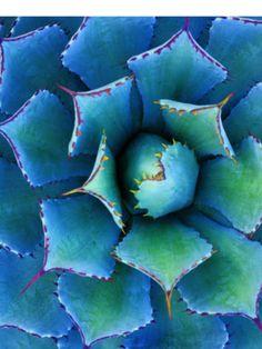 Succulent A. potatorum