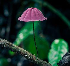 Purple Pinwheel Mushroom (Marasmius haematocephalus) ~ By Erik Gauger