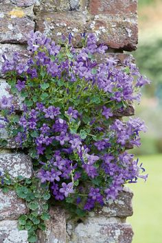 Pretty Periwinkle!! Hardy ground-cover. Great for filling in path areas and cracks in foundations.