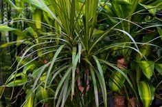 Tarka Sárkányfa Plants, Plant, Planets