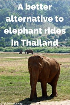 A better alternative to elephant rides. Read our story of a magical visit to Elephant Nature park. Click here http://globalhelpswap.com/elephant-rides-in-thailand/ #loveyourtravels