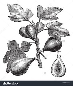 stock-vector-common-fig-or-ficus-carica-vintage-engraving-old-engraved-illustration-of-common-fig-showing-82694227.jpg (1354×1600)