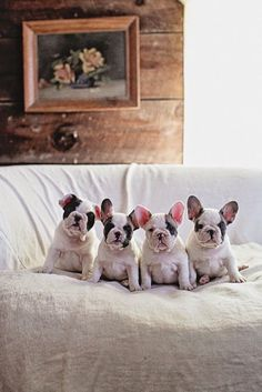 Frenchie Face-off