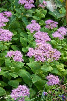 pompás varjúháj Lawn, Plants, Trees, Gardening, Door Bells, Flowers, Tree Structure, Lawn And Garden, Plant