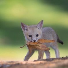 San Joaquin Fox Cub by Tin Man Lee