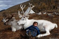 The Tsataan Reindeer Herders of Mongolia have learned to co-exist with the reindeer. The Dukha (Mongolian: Цаатан, Tsaatan) are a small culture of reindeer herders living in northern Khövsgöl Aimag of Mongolia. Mongolia, Beautiful Creatures, Animals Beautiful, Cute Animals, Small Animals, Fotojournalismus, White Reindeer, Reindeer Photo, Reindeer Meat