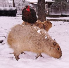 A capybara named Cheesecake is friends with all the animals at Rocky Ridge Refuge, an animal sanctuary in Arkansas. Rare Animals, Jungle Animals, Animals And Pets, Arkansas, My Animal, Guinea Pigs, Spirit Animal, Animal Kingdom, Mammals