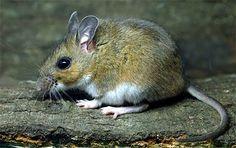 cotton mouse