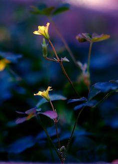Midnight beauty ჱܓ ჱ ᴀ ρᴇᴀcᴇғυʟ ρᴀʀᴀᴅısᴇ ჱܓ ჱ ✿⊱╮♡❊**Have a Good Day**❊ ~ ❤✿❤ ♫ ♥ X ღɱɧღ ❤ ~ Fr Jan 2015 Love Flowers, Yellow Flowers, Wild Flowers, Beautiful Roses, Beautiful World, Midnight Garden, Midnight Blue, Bokeh Photography, Photo D Art