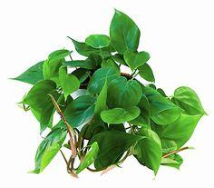 zyperngras ein jahr sp ter cyperus alternifolius flori pinterest plants house plants. Black Bedroom Furniture Sets. Home Design Ideas