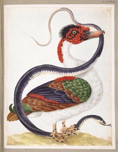 Muscovy duck, standing on the head of a snake, the tail in its mouth by Maria Sibylla Merian from Insects of Surinam, ca.1701-05. German School. Watercolour and bodycolour, heightened with white and gold, on vellum | British Museum