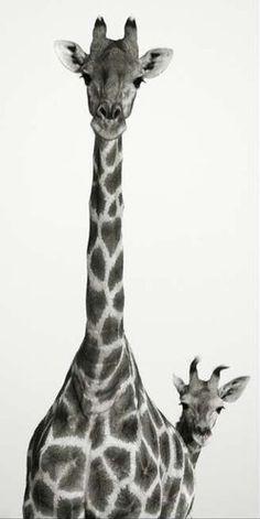 Peek a boo giraffe Beautiful Creatures, Animals Beautiful, Baby Animals, Cute Animals, Wild Animals, Photo Animaliere, Mundo Animal, Tier Fotos, Zebras