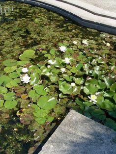 Lilly pond in Brighton
