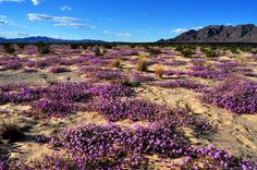California desert in bloom--I'll believe it when I see it.  I'm in the Mohave Desert and it is very  dry and BROWN.  Dust and sagebrush with Joshua trees and some aloe...