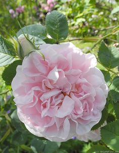 """Great Maiden's Blush rose: White, Strong fragrance, 3"""" blooms, Once bloomer, Thornless, 3b-9b, Shade tolerant, Very disease resistant, Prune after flowering"""