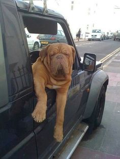 The Dogue de Bordeaux, or the French Mastiff, loves being with people, especially children. They are very patient dogs who are always up for some fun. Funny Animal Pictures, Dog Pictures, Funny Animals, Cute Animals, French Mastiff Dog, English Mastiff, Mastiff Breeds, Mastiff Dogs, Big Dogs