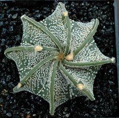 Image from http://www.gargamel-cactus.com/albums/album27/Astrophytum_capricorne_cv.jpg.