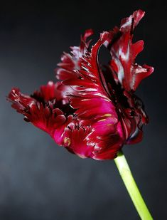 **flamenco ~ rich burgundy parrot tulip by mr moor