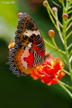 Cethosia hypsea hypsina (Malay Lacewing)  | Sharing A Few Butterflies Part IX - Page 9