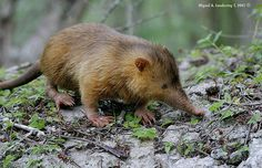 The Hispaniolan solenodon (Solenodon paradoxus), also known as the Haitian solenodon or agouta, is a solenodon found only on Hispaniola, the island shared by Haiti and the Dominican Republic.