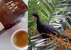 Jacu bird coffee is also made from droppings - that is the Brazilian Jacu bird droppings. The process is similar with the civet and elephant dung coffee which passes through the digestive system and then defeated. However, the coffee is less expensive compared to the other two animal dungs coffee, which is at around S$17 (US$13) a pound. It also removes the bitter flavour of coffee beans. #jacubirdcoffee #zenpro