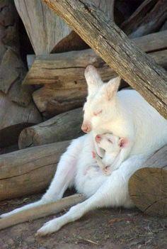 Albino kangaroo holding her baby.
