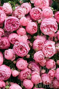 Rosa 'Pomponella'
