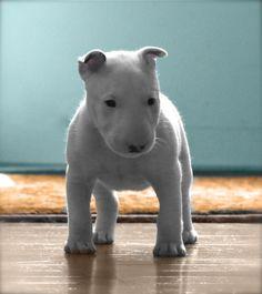 puppy bull terrier
