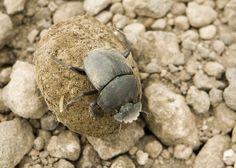 O inseto favorito de Karlla é o besouro-rola-bosta, um bicho muito inteligente. (foto: David Dennis / Flickr / (a href= https://creativecommons.org/licenses/by-sa/2.0/) CC BY-SA 2.0 (/a))