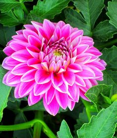 Dahlia Exotic Flowers, Diy Flowers, Pretty Flowers, Dahlia Flowers, Beautiful Flowers Pictures, Flower Pictures, Growing Gardens, Language Of Flowers, Winter Flowers