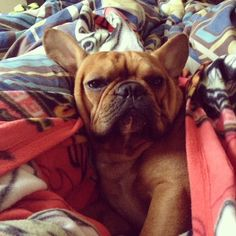 'I'm NOT getting up unless you have a Treat', Comfy French Bulldog.