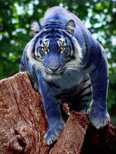 "Maltese tiger... with rather a lot of help from Photoshop by the looks of it. Whilst Maltese tigers are thought to exist/have existed (jury seems to be out on whether they're extinct or not yet) the ""blue"" colouring is thought to be more of a grey colour than this bright blue. When Photoshopping something like this look to house cat species like the British or Russian Blue's to get a better idea of what the colouring was likely to be closer to on the big cats. Animals Beautiful, Majestic Animals, Beautiful Cats, Very Rare Animals, Unusual Animals, Wild Animals, Nature Animals, Baby Animals, Animals And Pets"