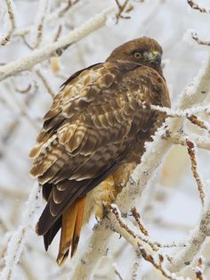 Red Tailed Hawk, Photo Series, Falcons, Hawks, Eagles, Bald Eagle, Birds, Friends, Amigos
