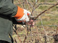 Обрезка - важная часть ухода за виноградом