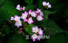 오늘은 고마리 입니다.계속 공부하고 있는 물가까이 사는 식물입니다.탁월한수질정화능력이있어 '고마운풀'에서 '고마우리' '고마리'라는 이름이 붙었다는 설