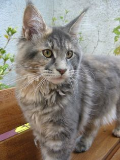 Maine Coon...I hope this is what Ava looks like when she is full grown!!