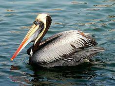 Pelikan chilijski.Eng. Peruvian pelican.  (Pelecanus thagus) – gatunek ptaka z rodziny pelikanów (Pelecanidae). Zamieszkują zachodnie wybrzeżaAmeryki Południowej(ChileiPeru). Ważą około 7 kg i mierzą 1,5 m. Żywią sięrybami.
