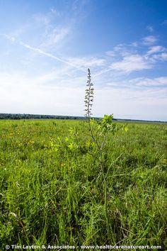 Blackeyed Susan on Unnamed Prairie - #landscapes #nature #prairie