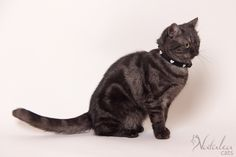 British Shorthair Black Smoke - Chatterie & élevage NataleaCats © Nathalie Boogemans