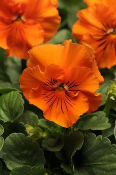 Viola 'Frizzle Sizzle Orange'