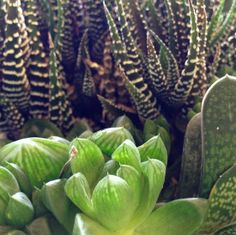 Haworthia Haworthia and Gasteria species
