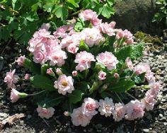 Primula  Sue Jarvis for miniature gardens