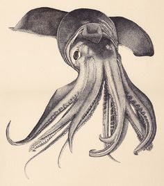 """""""Humboldt Squid Commission - Final Piece"""" - Pen and Ink on BFK Rives, Laura Hines © 2012 http://laurahines.net/SCIENTIFIC-ILLUSTRATION"""