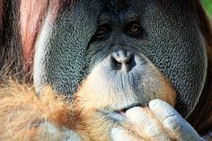 Finger-licking good. Orangutan photo by Pegi Sue.