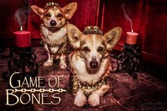 Game of Bones: Corgi Edition Dapple Dachshund, Dachshund Puppies, Corgi Dog, Cute Puppies, Pet Dogs, Pets, Wiener Dogs, Chihuahua Dogs, I Love Dogs