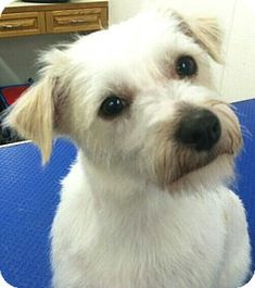 "Seattle, WA - Shih Tzu/Wirehaired Fox Terrier Mix. Meet ""Barley"" a Dog for Adoption."