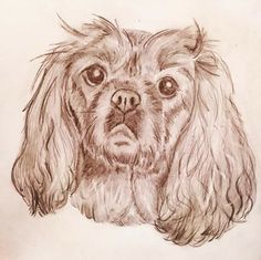 King Charles cavalier pet sketch - portrait of Molly dog 👍 in pencil; CVale