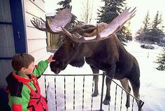 Alaska your own personal petting zoo - Be careful, you know what they say about interacting with moose.